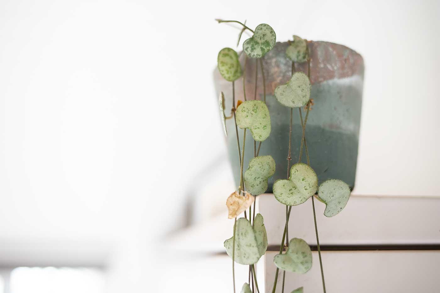 ragnarr-plant